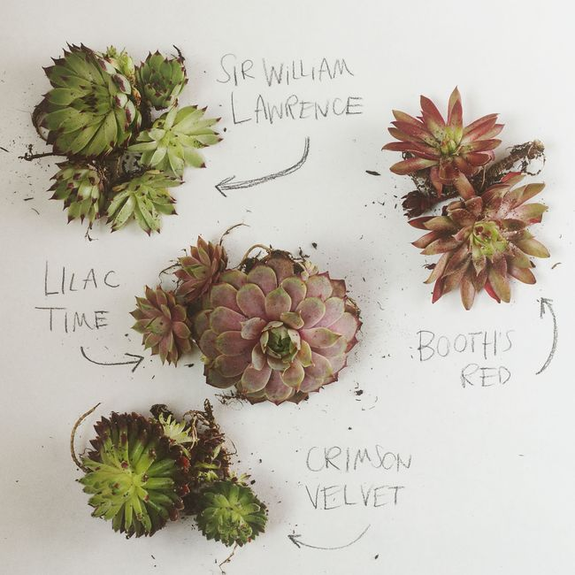 SEMPERVIVUM Succulents by VOL25 3