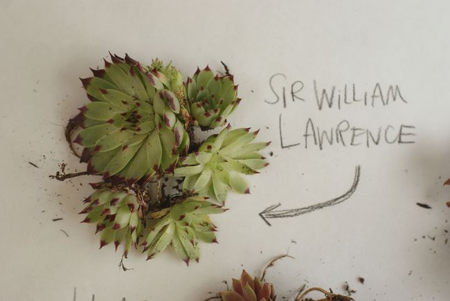 SUCCULENT SIR WILLIAM LAWRENCE